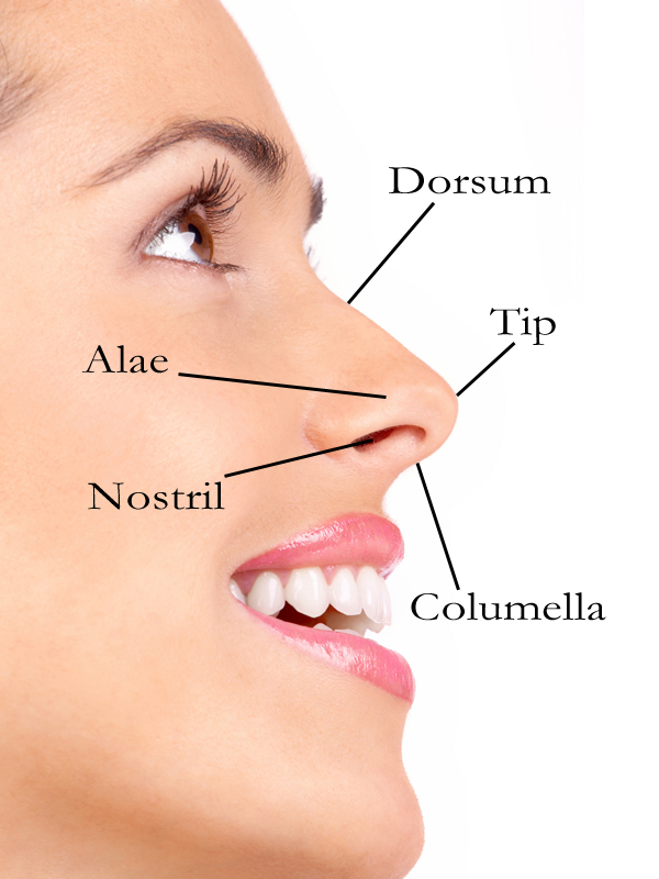 Parts of nose
